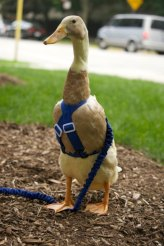 duckharness